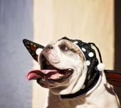 Bulldog in butterfly costume — Stockfoto
