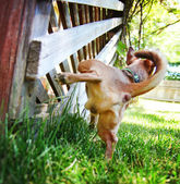 Cute chihuahua peeing — Stock Photo