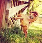 Chihuahua peeing on gazebo lattice — Stock Photo