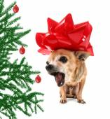 Chihuahua in christmas bow — Photo