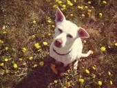 Chihuahua im gras — Stockfoto