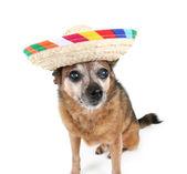 Cute chihuahua in sombrero — Stock Photo