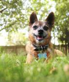 Chihuahua in the grass — Stock Photo