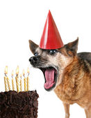 Chihuahua with birthday cake and party hat — Stock Photo