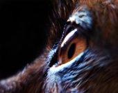 Chihuahua's eye — Stock Photo
