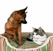 Cute kitten and chihuahua — 图库照片