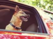 Chihuahua in red vehicle — Stock Photo