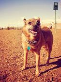 Dog at dog park — Stock Photo