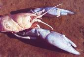 Large crayfish — Stock Photo