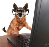 Chihuahua, surfer sur internet sur ordinateur portable — Photo
