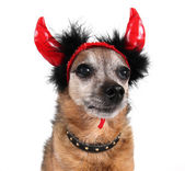 Chihuahua with horns — Stok fotoğraf