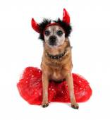 Chihuahua in costume and horns — Stok fotoğraf