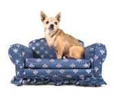 Čivava na miniaturní gauč — Stock fotografie
