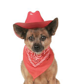 Small dog in cowboy outfit — Stock Photo