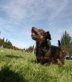 Hond bij plaatselijke openbare park — Stockfoto