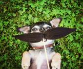 Cute chihuahua with mustache — Stock Photo