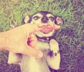 Chihuahua with mustache finger — Stock Photo