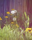 Dandelions blooming — Stock Photo