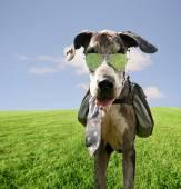 大丹犬与背包和墨镜 — 图库照片