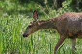 Doe eating grass — Stock Photo