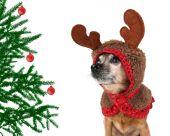 Dog dressed in reindeer antlers — Stock Photo