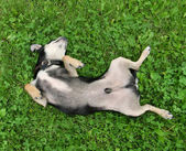 Chihuahua rolling in the grass — Stockfoto