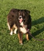 Leuke hond in het gras — Stockfoto