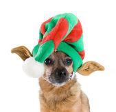 Chihuahua dressed up for christmas — Stok fotoğraf