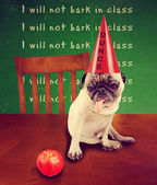 Pug wearing a dunce hat — Stock Photo