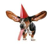 Basset hound in birthday hat — Stockfoto