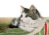 Kitten on striped pet bed — Stock Photo