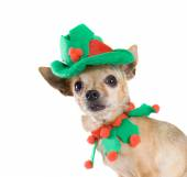 Chihuahua dressed up as elf — Stok fotoğraf