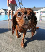Dog at local public pool — Stock Photo
