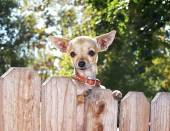 Chihuahua looking over a fence — Stock Photo