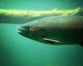 Trout fish swimming — Stock Photo