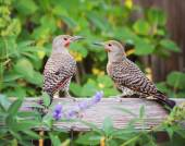 Northern Flickers — Stock Photo