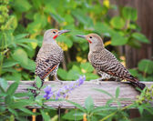 Northern Flickers — Foto de Stock