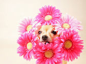 Chihuahua with flowers around head — Stok fotoğraf