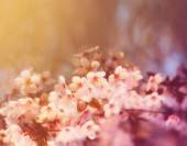 Cherry tree flowers blooming — Stock Photo