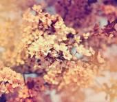 Cherry tree flowers blooming — Stock Photo
