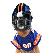 Chihuahua dressed up in football uniform — ストック写真