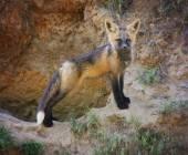 Baby red fox — Stock Photo