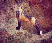 Baby red fox near den — Stock Photo