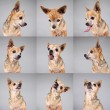 Chihuahua making funny face — Stock Photo #53620777