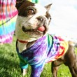 Funny boston terrier — Stock Photo #53622267