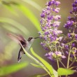 Cute hummingbird hovering at flower — Stock Photo #53622613