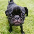 Pug at a local park — Stock Photo #53626097