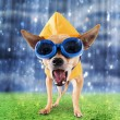 Chihuahua with raincoat and goggles on — Stock Photo #53626477