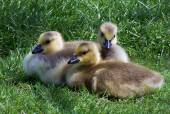 Three canadian geese babies — Stock Photo