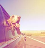 Basset out of car window and tongue — Stock Photo